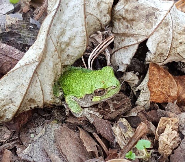 Frog in Fall leaves.jpg