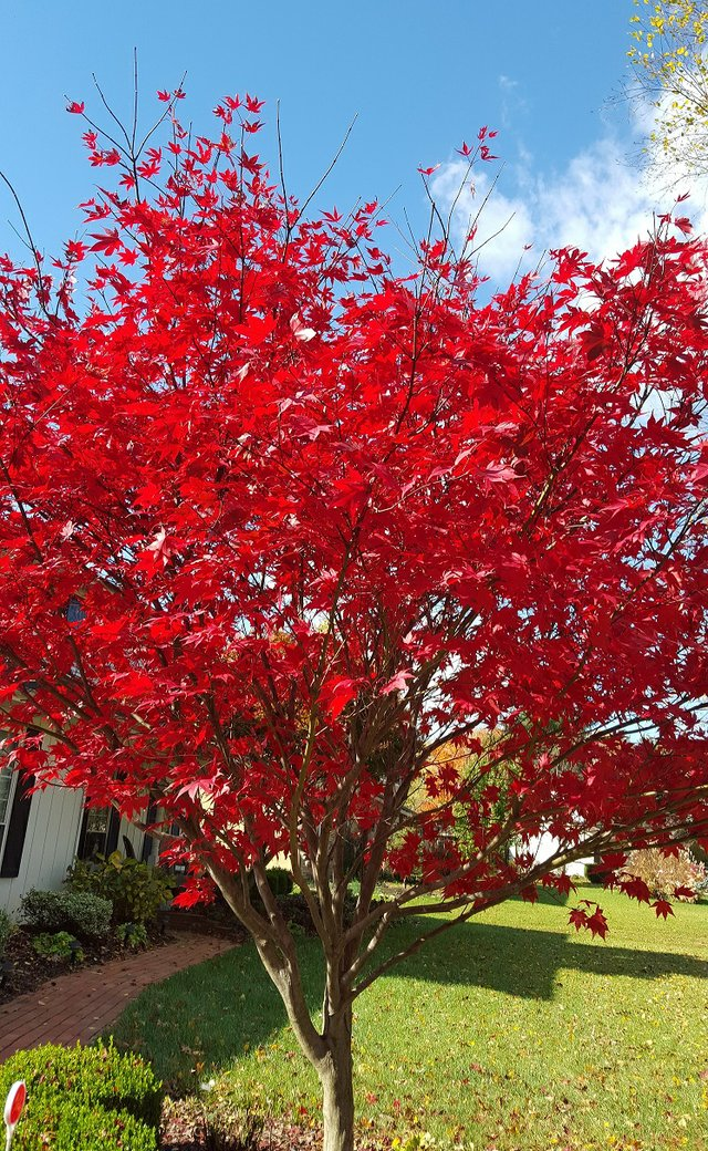 Japanese Maple in Red.new.jpg