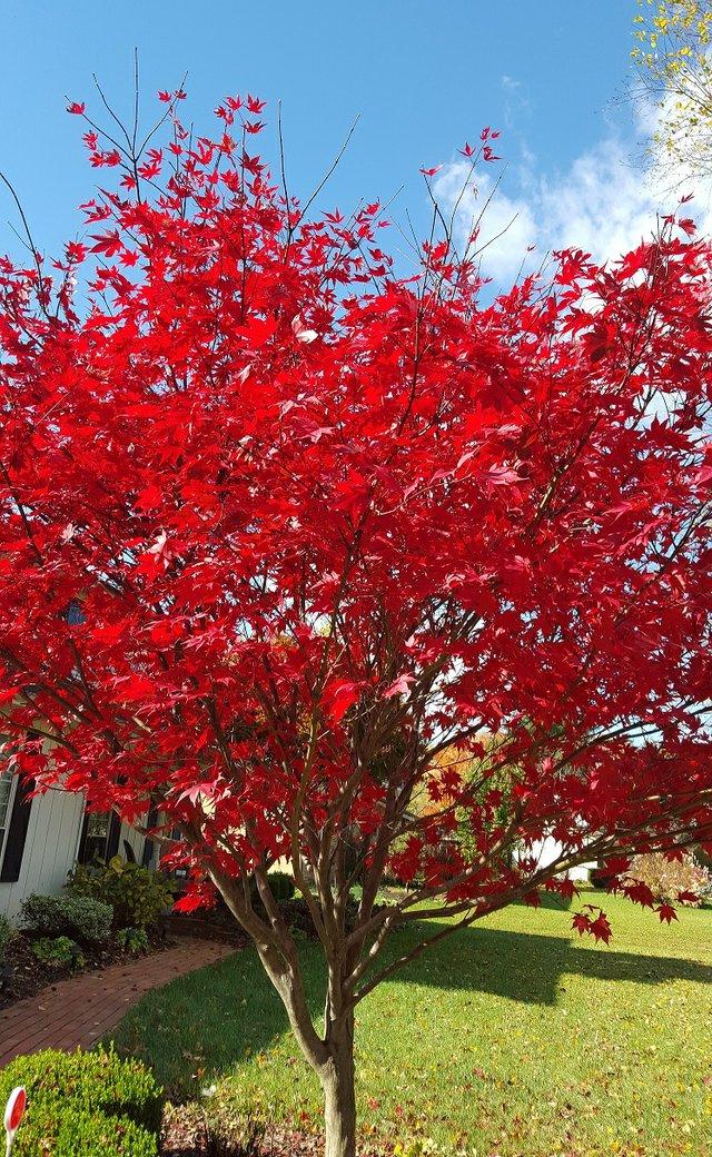 Japanese Maple in Red.new.jpg