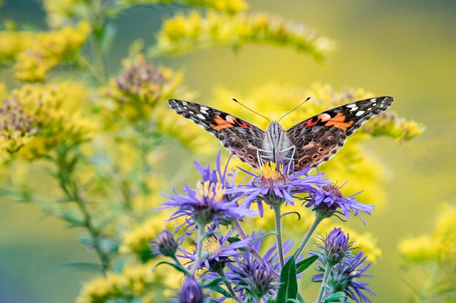 Brandemihl, Adam_HBK_Painted Lady Butterfly_$250.jpg