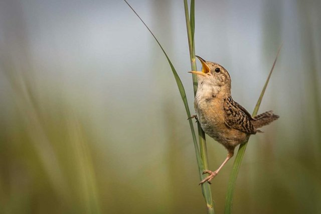 Cubert-Kathryn_BDC-Sedge-Wren_Top-40_199-1150x767.jpg
