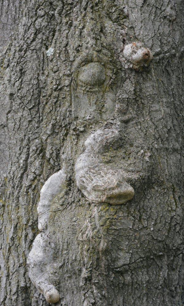 Siesta Tree.jpeg