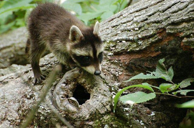 Baby Raccoon (2)- Fritz Guth.jpg