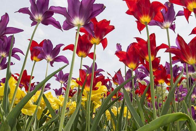 tulips for Lydia (002).jpg