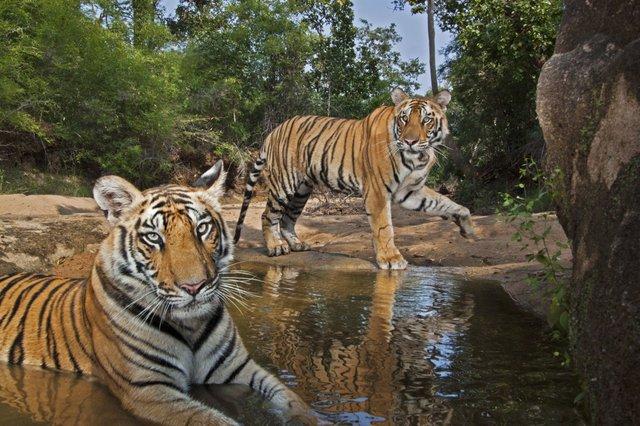Tigress cubs at waterhole, India_CR Steve Winter.jpg