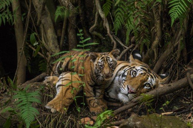 Steve Winter / Tigers