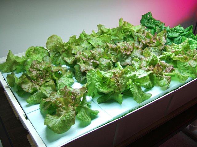 Lettuce 28 Days1 (002).JPG