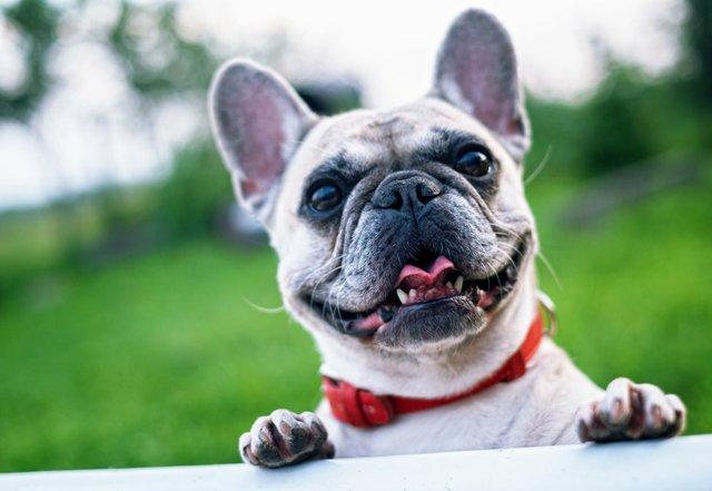 french-bulldog-summer-smile-joy-160846.jpeg