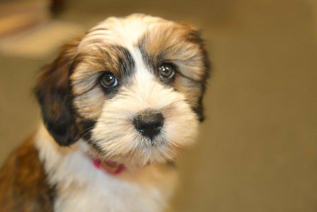 tibet-terrier-cute-pet-dog-162276.jpeg