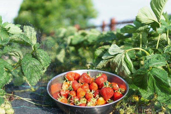 First Backyard  Strawberries of Season red.jpg