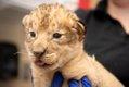 Lion Cubs 2019