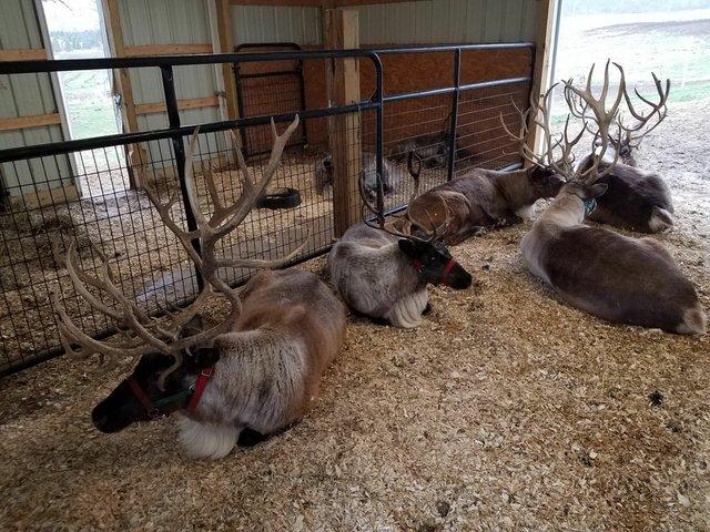 Reindeer 1.jpg