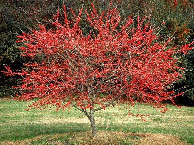 Deciduous Holly grow native.org.jpg