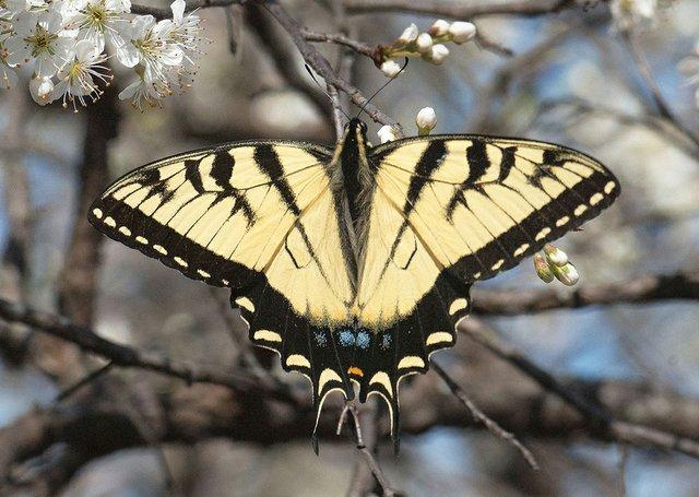 eastern tiger swallowtail butterfly.jpg