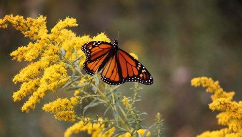 butterflyinGlacierRidgesmall.jpg
