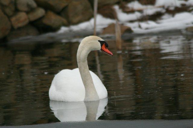 Mute Swan at Ballantrae, Larry Irvine