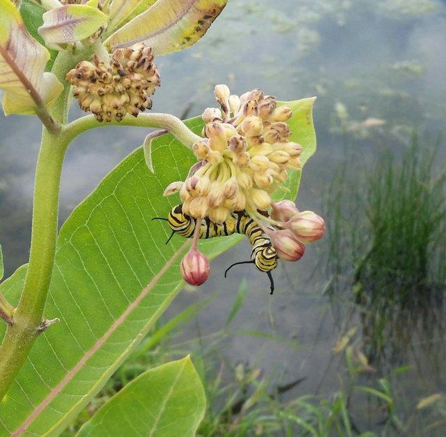Monarch Caterpillar in Ballantrae, Amy Gossard