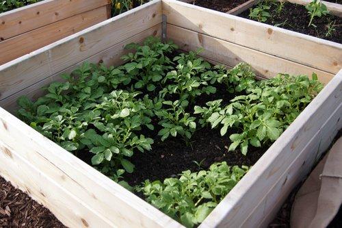 sister garden organic Ukon Gold potatoes.jpg