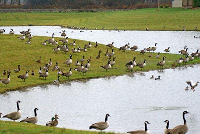 Geese-on-pond-1.jpg