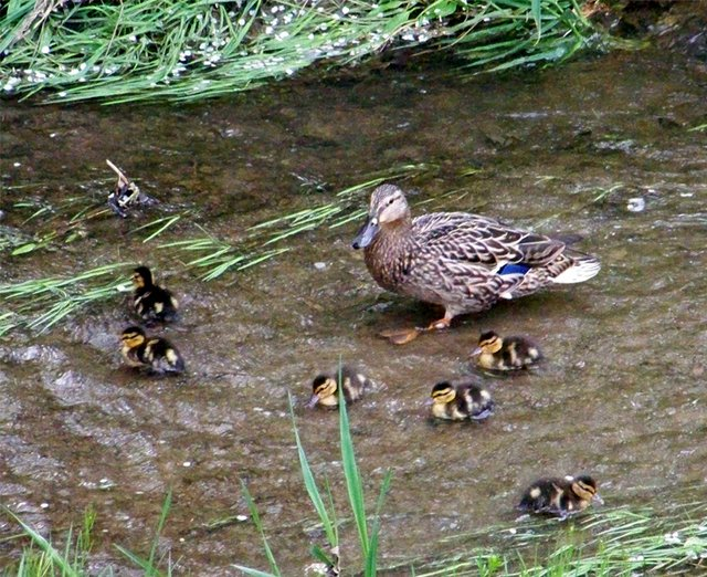 BABY_DUCKS_AND_MAMA_PATRICIA_HUNTER.jpg