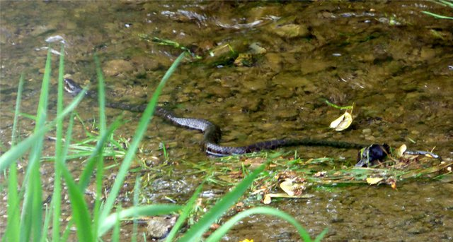 BLACK SNAKE IN CREEK   PATRICIA HUNTER.jpg