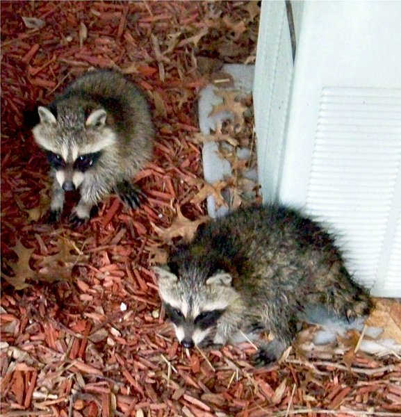 TWO BABY RACOONS   PATRICIA HUNTER.jpg