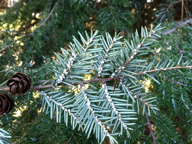 Be on the Lookout for Hemlock Woolly Adelgid