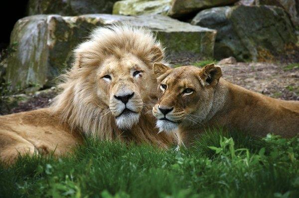 Wildlife Academy - Lions