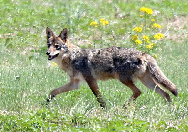 coyote in meadow at RKF_D Bissonette.jpg