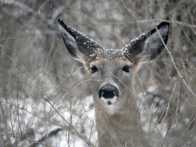 deer in snow 050a.jpg