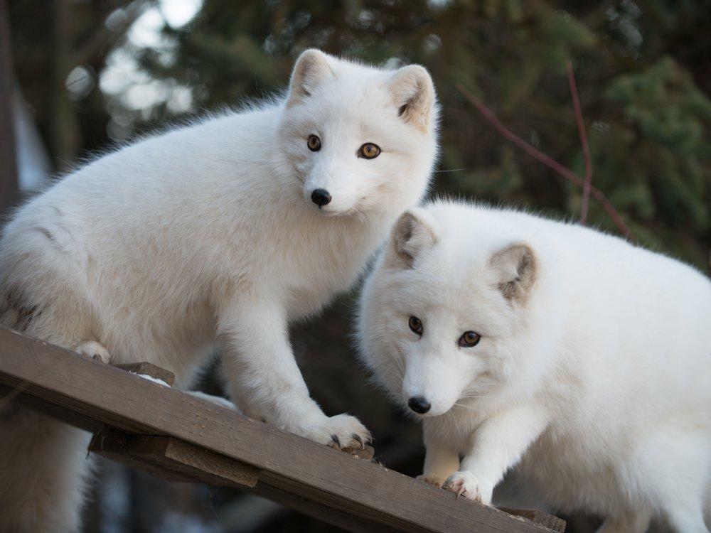 Arctic fox 4635 - Grahm S. Jones, Columbus Zoo and Aquarium.jpg