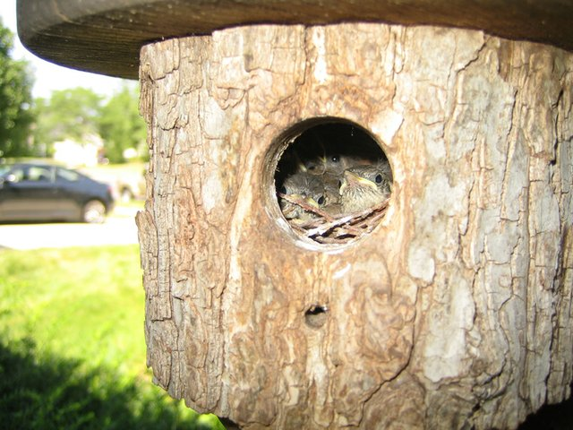 Baby Wrens, New Dublin Residents.JPG