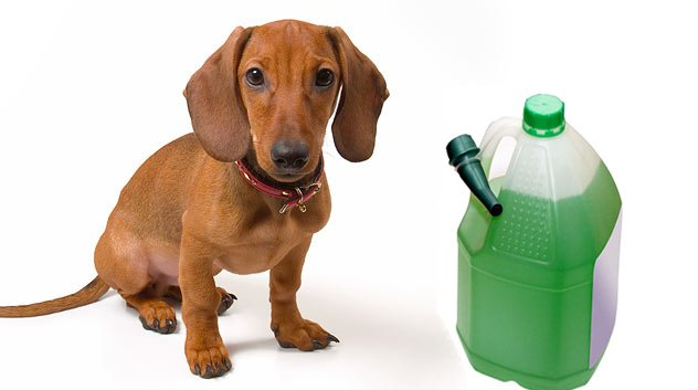 dog with antifreeze.jpg